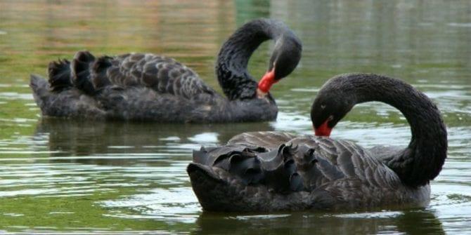 Cisne negro: conceito muito utilizado atualmente para eventos improváveis