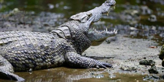 O que o crocodilo pode te ensinar sobre negócios