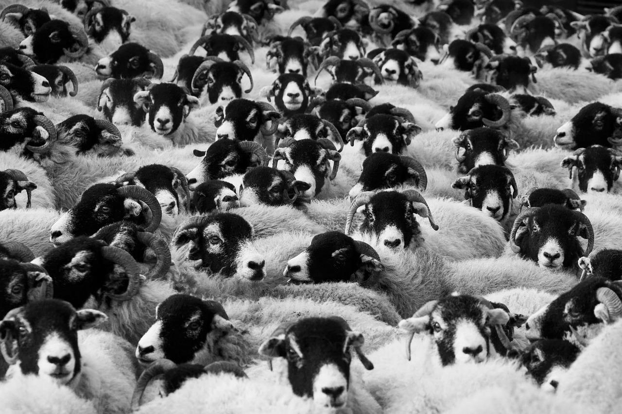comportamento de manada