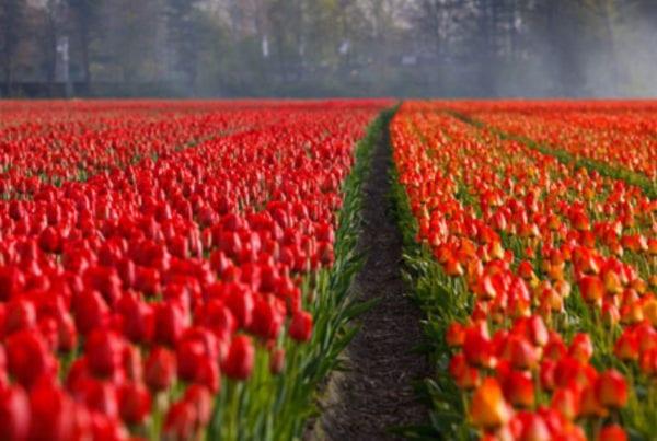 bolha das tulipas