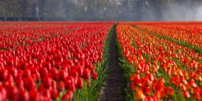 Bolha das tulipas: saiba mais sobre essa marcante bolha especulativa